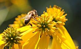 La abeja poliniza la flor amarilla Foto de archivo libre de regalías