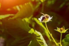 La abeja poliniza la flor de la fresa Insecto en una flor blanca Imagen de archivo libre de regalías