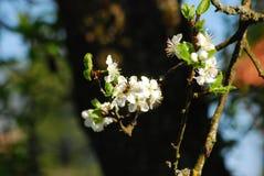 La abeja poliniza la flor en un jardín Imágenes de archivo libres de regalías