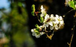 La abeja poliniza la flor en un jardín Fotos de archivo