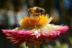La abeja poliniza la flor: los pétalos de Borgoña de la flor y del centro amarillo, el tronco del ` s del castor se bajan en la f Imagenes de archivo