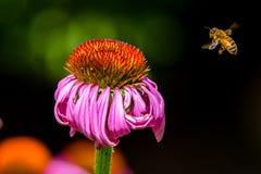 La abeja poliniza la flor púrpura del cono Foto de archivo