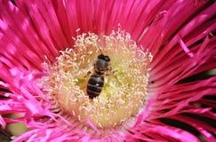 La abeja poliniza la flor rosada Imagenes de archivo
