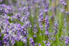 La abeja poliniza la lavanda Fotografía de archivo libre de regalías