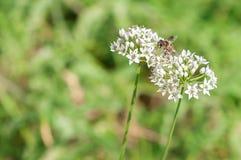 La abeja poliniza las flores blancas Fotos de archivo libres de regalías