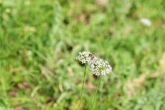 La abeja poliniza las flores blancas Foto de archivo
