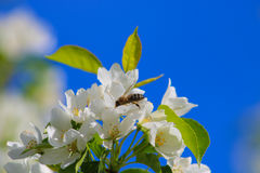La abeja poliniza las flores blancas de la manzana Fotografía de archivo