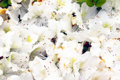 La abeja poliniza las flores blancas en Isabella Plantation Imagen de archivo