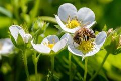 La abeja poliniza las flores de la fresa Imagen de archivo