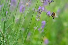 La abeja poliniza las flores de la lavanda Decaimiento de la planta con los insectos Foto de archivo