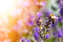 La abeja poliniza las flores de la lavanda Decaimiento de la planta con los insectos Fotos de archivo