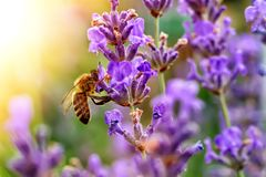 La abeja poliniza las flores de la lavanda Decaimiento de la planta con los insectos Fotos de archivo libres de regalías