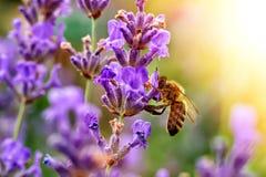 La abeja poliniza las flores de la lavanda Decaimiento de la planta con los insectos Fotografía de archivo libre de regalías