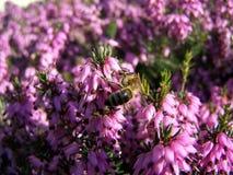 La abeja poliniza las flores de los calentadores Imágenes de archivo libres de regalías