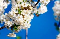 La abeja poliniza las flores de los manzanos en la primavera soleada Imágenes de archivo libres de regalías