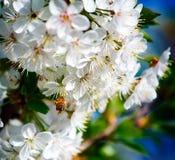 La abeja poliniza las flores de los manzanos en la primavera soleada Imagen de archivo libre de regalías