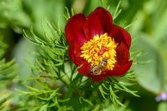 La abeja poliniza las flores de la peonía con los pétalos rojos y yello grueso Imagenes de archivo