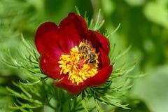 La abeja poliniza las flores de la peonía con los pétalos rojos y yello grueso Fotografía de archivo libre de regalías