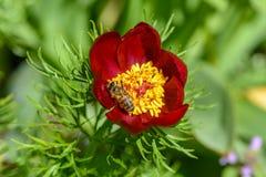 La abeja poliniza las flores de la peonía con los pétalos rojos y yello grueso Imágenes de archivo libres de regalías