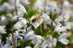 La abeja poliniza las flores minúsculas de la primavera Imagen de archivo libre de regalías