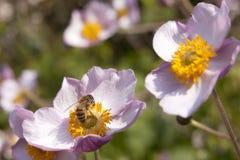 La abeja poliniza las flores rosadas en día soleado hermoso en jardín Imágenes de archivo libres de regalías