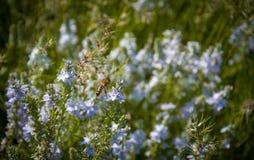 La abeja poliniza las flores salvajes Prado aromático de la primavera Fotos de archivo