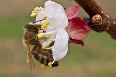 La abeja poliniza los flores del albaricoque en la primavera imagen de archivo