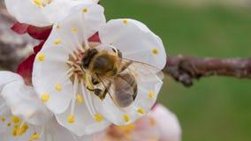 La abeja poliniza los flores del albaricoque en la primavera fotos de archivo