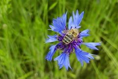 La abeja poliniza moscarda en una macro del campo Imágenes de archivo libres de regalías