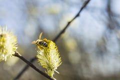 La abeja poliniza un árbol floreciente Fotos de archivo libres de regalías
