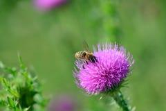 La abeja poliniza un agrimony Imágenes de archivo libres de regalías