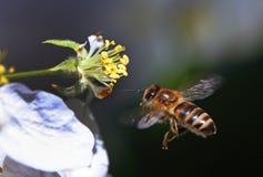 La abeja poliniza un Apple-árbol Fotografía de archivo