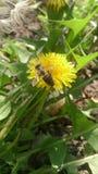 La abeja poliniza un diente de león Imagen de archivo libre de regalías