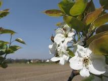 La abeja poliniza un flor de la pera en primavera Toscana, Italia Imágenes de archivo libres de regalías