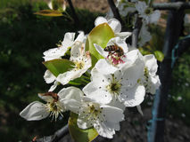 La abeja poliniza un flor de la pera en primavera Toscana, Italia Imagen de archivo libre de regalías
