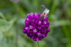 La abeja poliniza una flor Foto de archivo libre de regalías