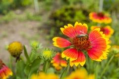 La abeja poliniza una flor Fotografía de archivo