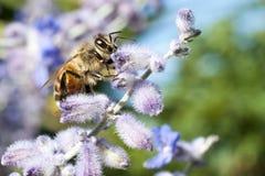 La abeja poliniza una flor de la lavanda Imágenes de archivo libres de regalías