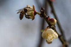 La abeja poliniza una flor del flor del melocotón Fotos de archivo