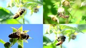 La abeja poliniza una frambuesa, multiscreen la composición. almacen de metraje de vídeo