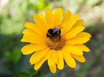 La abeja poliniza una margarita del amarillo de la flor Imagen de archivo