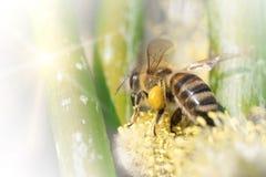 La abeja poliniza una planta de la flor en primavera en un día soleado Imagen de archivo libre de regalías