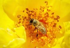 La abeja poliniza una rosa amarilla Fotografía de archivo