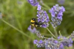 La abeja que chupa el polen Fotos de archivo