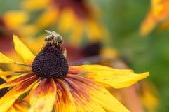 La abeja que come de un girasol Imágenes de archivo libres de regalías