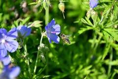 La abeja que poliniza en la flor Imagenes de archivo