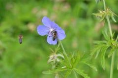 La abeja que poliniza en la flor Fotos de archivo