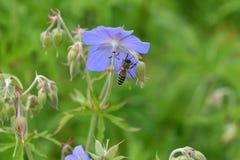 La abeja que poliniza en la flor Fotografía de archivo