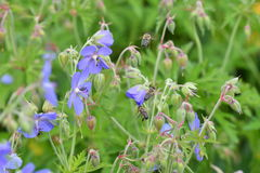 La abeja que poliniza en la flor Imagen de archivo libre de regalías