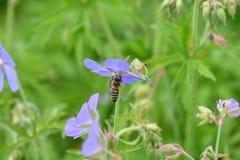 La abeja que poliniza en la flor Fotografía de archivo libre de regalías